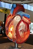 Heart. Large model of a human heart with parts exposed Stock Images