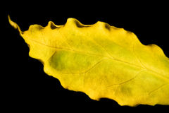 Heart of a leaf. Closeup of a shapely yellow leaf Royalty Free Stock Photography