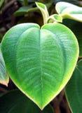 Heart leaf stock photo