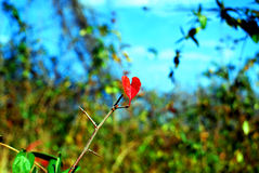 Heart Leaf. A leaf, in the shape of a heart, clings to a bush fighting off winter Stock Photo