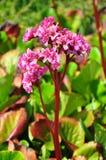 Heart-leaf bergenia Bergenia cordifolia Royalty Free Stock Photos