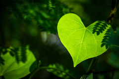 Heart leaf. Closeup leaf like a heart shape in the forest Royalty Free Stock Images