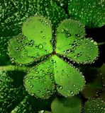 Heart Leaf Clover. With water drops royalty free stock photo