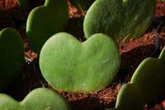 Heart Leaf Hoya Stock Photography