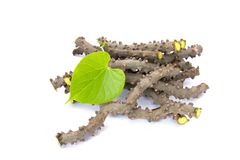 Heart leaf moonseed herb for healthy, Tinospora cordifolia Will. D., Menispermaceae stock image