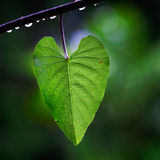 Heart leaf. Leaf in the shape of a heart hanging on a vine in a rainforest Stock Photography