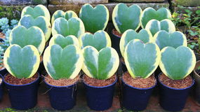 Heart leave plant Stock Image