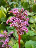 Heart-leaved bergenia in a garden Stock Photos