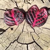 Heart leaves look like eyes. Royalty Free Stock Photo