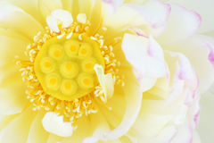 Heart of Lotus Royalty Free Stock Photography