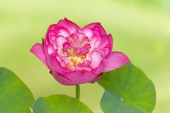 Heart of a lotus flower Royalty Free Stock Image