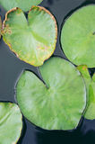 The heart Lotus leaf, Lotus leaf-shaped heart Royalty Free Stock Photography