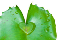 Heart lotus leaves. The details of huge lotus leafs over water Stock Photos