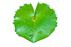 Heart lotus leaves. The details of huge lotus leafs over water Royalty Free Stock Photography