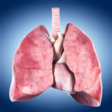 The heart and lung stock image