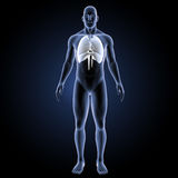 Heart, Lungs and Diaphragm with body anterior view Stock Photo
