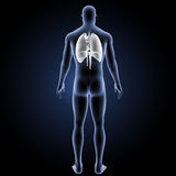 Heart, Lungs and Diaphragm with body posterior view Royalty Free Stock Photography