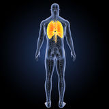 Heart, Lungs and Diaphragm with circulatory system posterior view Royalty Free Stock Photo