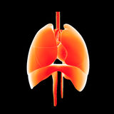 Heart, Lungs and Diaphragm anterior view Royalty Free Stock Photo
