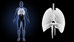 Heart, Lungs and Diaphragm zoom with body anterior view Royalty Free Stock Photography
