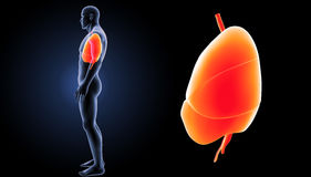 Heart, Lungs and Diaphragm zoom with body lateral view Royalty Free Stock Photo