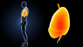 Heart, Lungs and Diaphragm zoom with body lateral view Royalty Free Stock Images