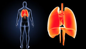 Heart, Lungs and Diaphragm zoom with body posterior view stock illustration