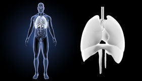 Heart, Lungs and Diaphragm zoom with organs anterior view Royalty Free Stock Photos