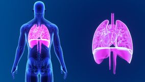 Heart, Lungs and Diaphragm zoom with Skeleton stock video footage