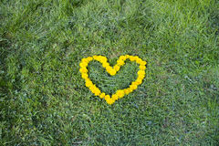 Heart made with Dandelion yellow-flowered weed flowers on the grass Royalty Free Stock Photos