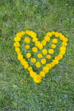 Heart made with Dandelion yellow-flowered weed flowers on the grass Stock Photos