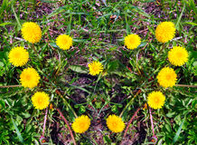 Heart made of yellow dandelions on green grass Royalty Free Stock Images