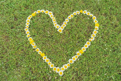 Heart of marguerite blossoms Stock Photography