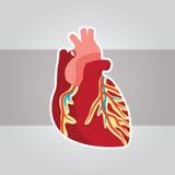 Heart Medical 3. Heart vector illustration for medical Royalty Free Stock Image