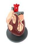 Heart Model Stock Image