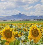 Heart Mountain sunflower field Royalty Free Stock Photography