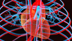 3d illustration of  human body heart anatomy. The heart is a muscular organ in humans and other animals, which pumps blood through the blood vessels of the Royalty Free Stock Images