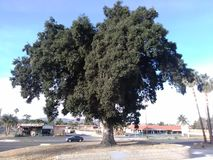 Heart oak tree. Oak heart tree nature old Stock Photography