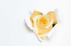 Heart of paper and white rose Stock Photo