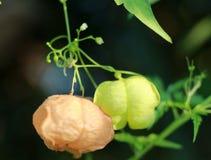 Heart Pea or Ballon Vine. Macro Stock Photos
