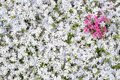 Heart in phlox subulata field.  Stock Photo