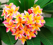 Heart picture Plumeria flowers Stock Images