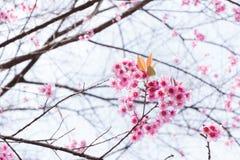 Heart pink flower - Wild Himalayan Cherry ( Sakura in Thailand ). Wild Himalayan Cherry or Prunus cerasoides ( Sakura in Thailand ) – Heart pink flower Stock Photo