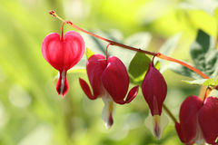 Heart plant. Old-fashioned bleeding heart plant - closeup. Lamprocapnos spectabilis Stock Images