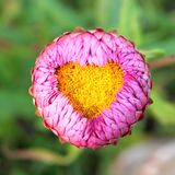 Heart pollen flower. Pink everlasting flower and heart pollen Royalty Free Stock Image