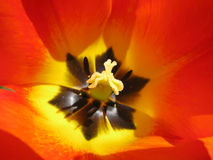 Heart of red yellow tulip Royalty Free Stock Photos