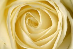 The heart of a rose. Close-up of a white rose Royalty Free Stock Photo