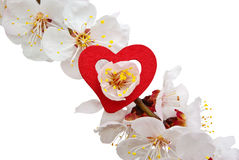 Heart on sakura Royalty Free Stock Image