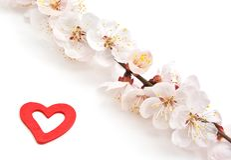 Heart and sakura. Royalty Free Stock Image