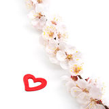 Heart on sakura. Stock Photos